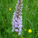 Common_Spotted_Orchid_28-06-2012