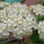Rowan Blossom 28-05-2013