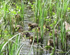 Penjar Ducklings Adele