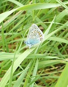 Common Blue 3 110514