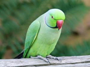 indian parrots