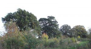 Magnificent oaks