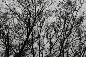 Branches bare by Roger Morfey DDCC November 2016