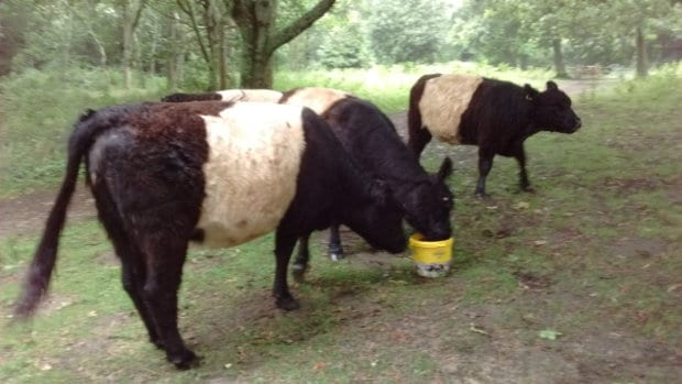 Belties at the mineral lick bucket