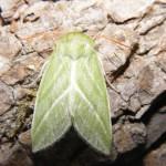 Green Silver-lines Moth (Pseudoips prasinana) 21.7.13.Rooksbury Mill