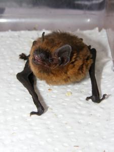 Common Pipistrelle Bat  (Pipistrellus pipistrellus) 4.9.10 Zionshill Copse Woodfair