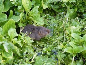 Water Vole (Arvicola terrestris) 29.3.12.Rooksbury Mill