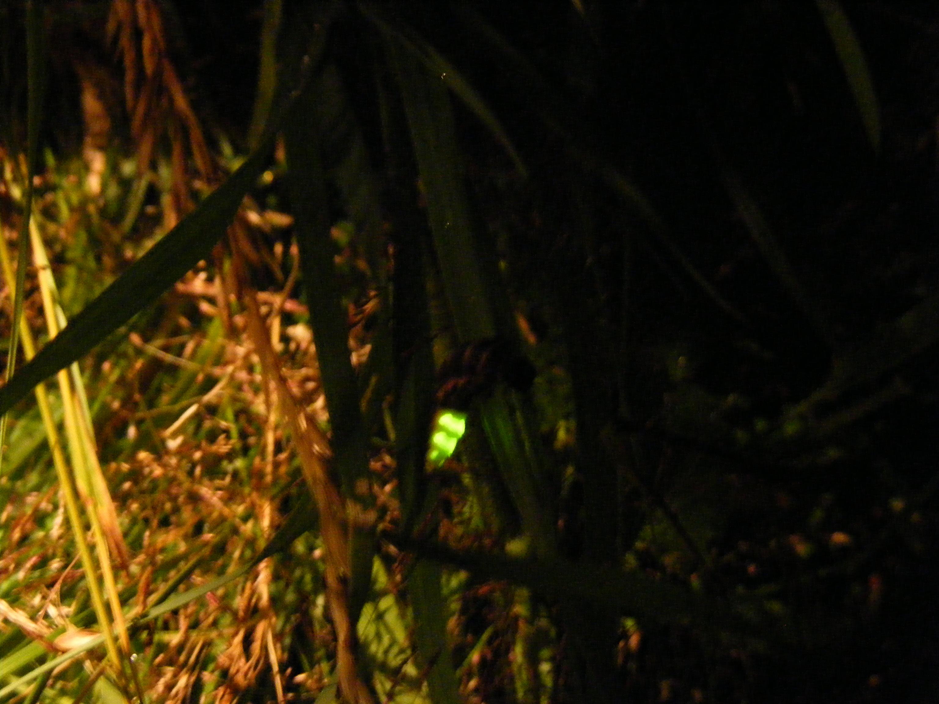 glow-worm-lampyris-noctiluca-15-7-16-anton-lakes-5