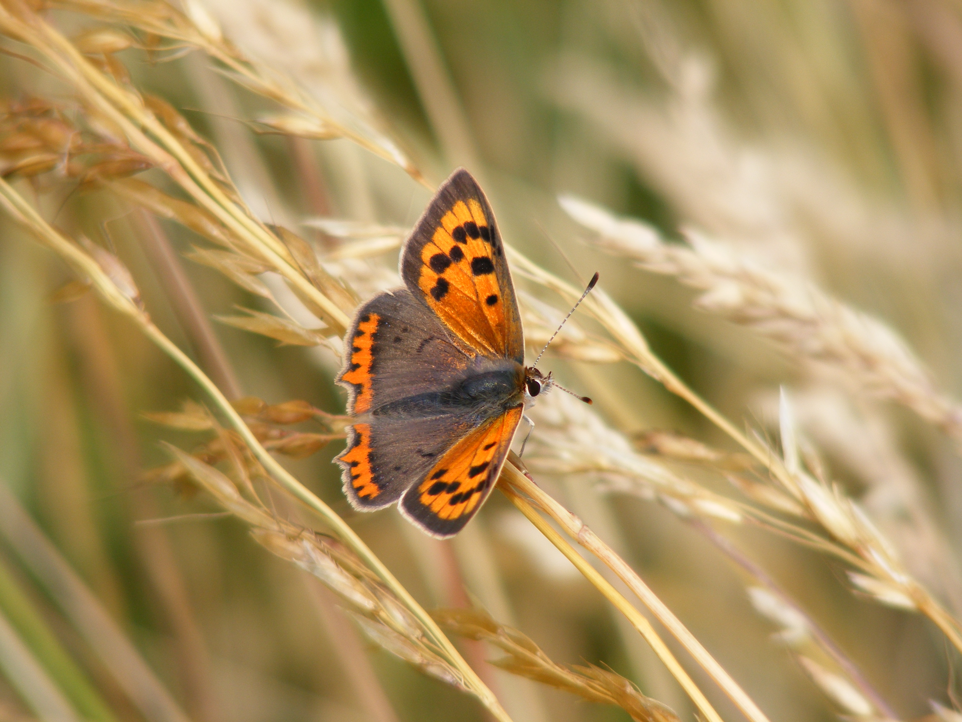 small-copper-butterfly-lycaena-phlaeas-26-7-13-pilot_047