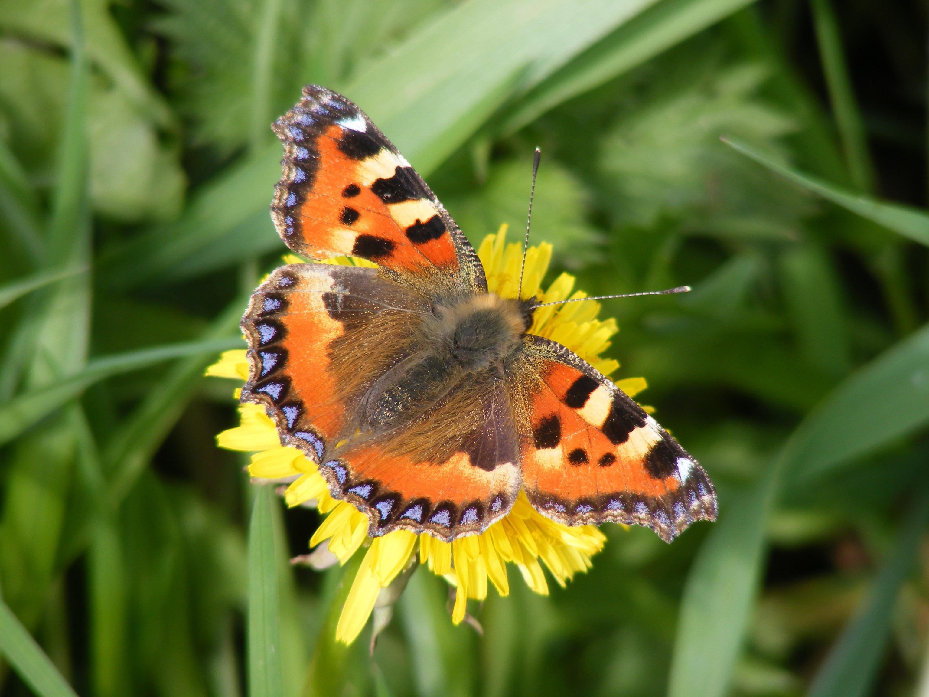 small-tortoiseshell-butterfly-aglais-urticae-12-4-14_04d