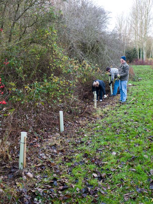 Planting the Guelder Roses