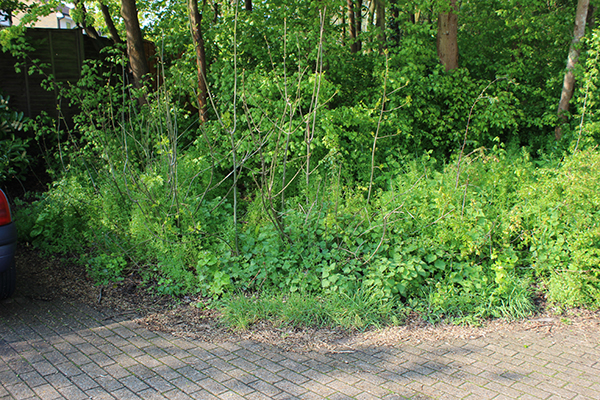 Before – overgrown woodland edge with 'out of control' tree saplings