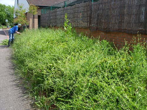 Before – landscaping recently smothered by explosive growth of 'cleavers' -  the gardener's bane this spring?